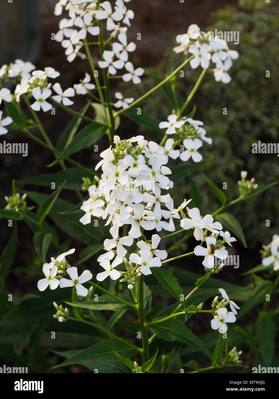 White star shaped flowers stock photos white star shaped flowers a close up of the white flowers of hesperis matronalis alba stock image mightylinksfo