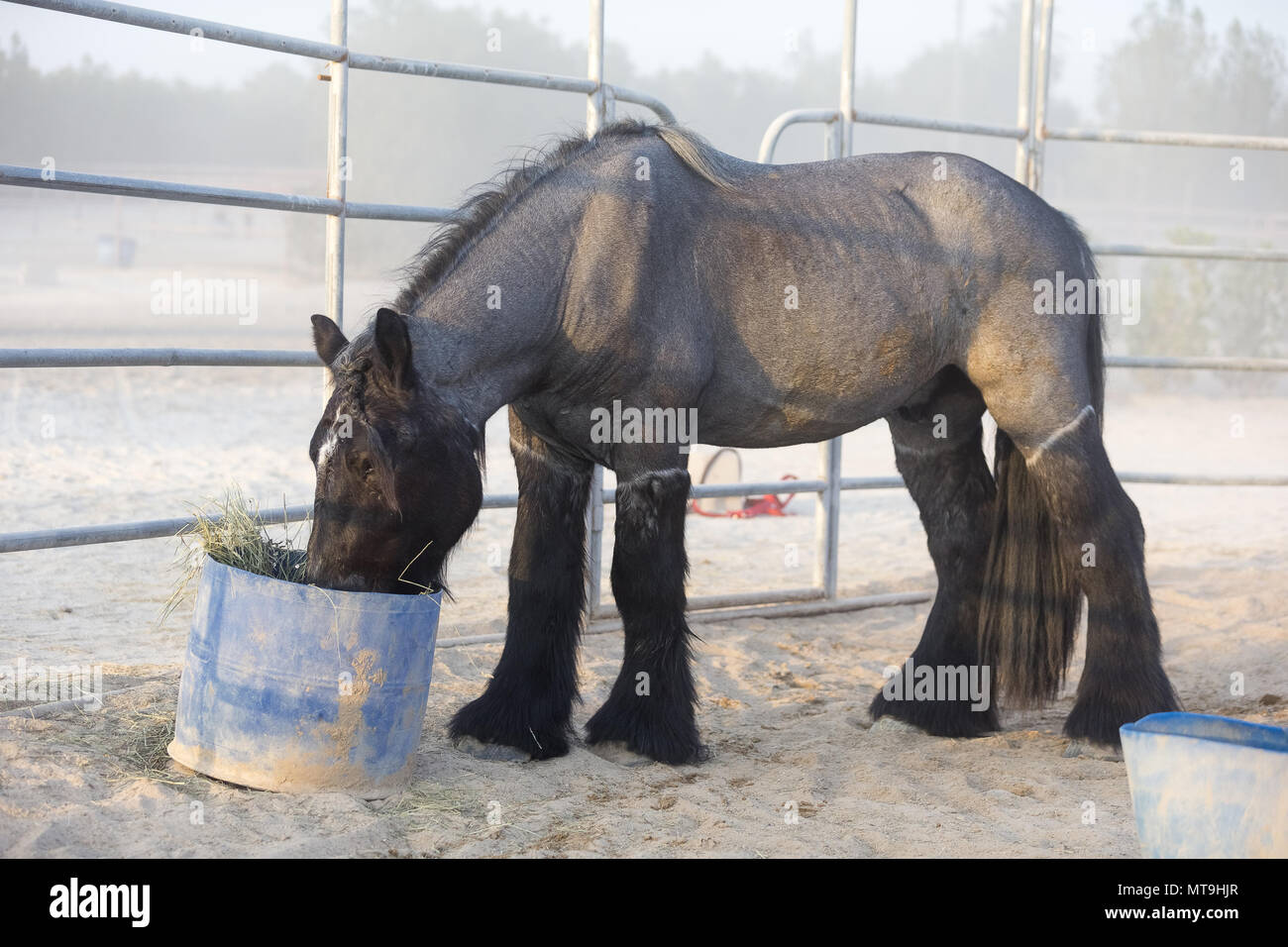 Ardennes Horse. Clipped adult feedding from a bucket. Abu Dhabi - Stock Image