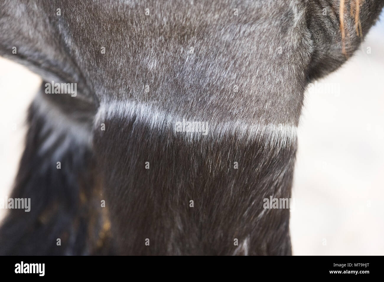 Ardennes Horse. Close-up of clipped adult. Abu Dhabi - Stock Image