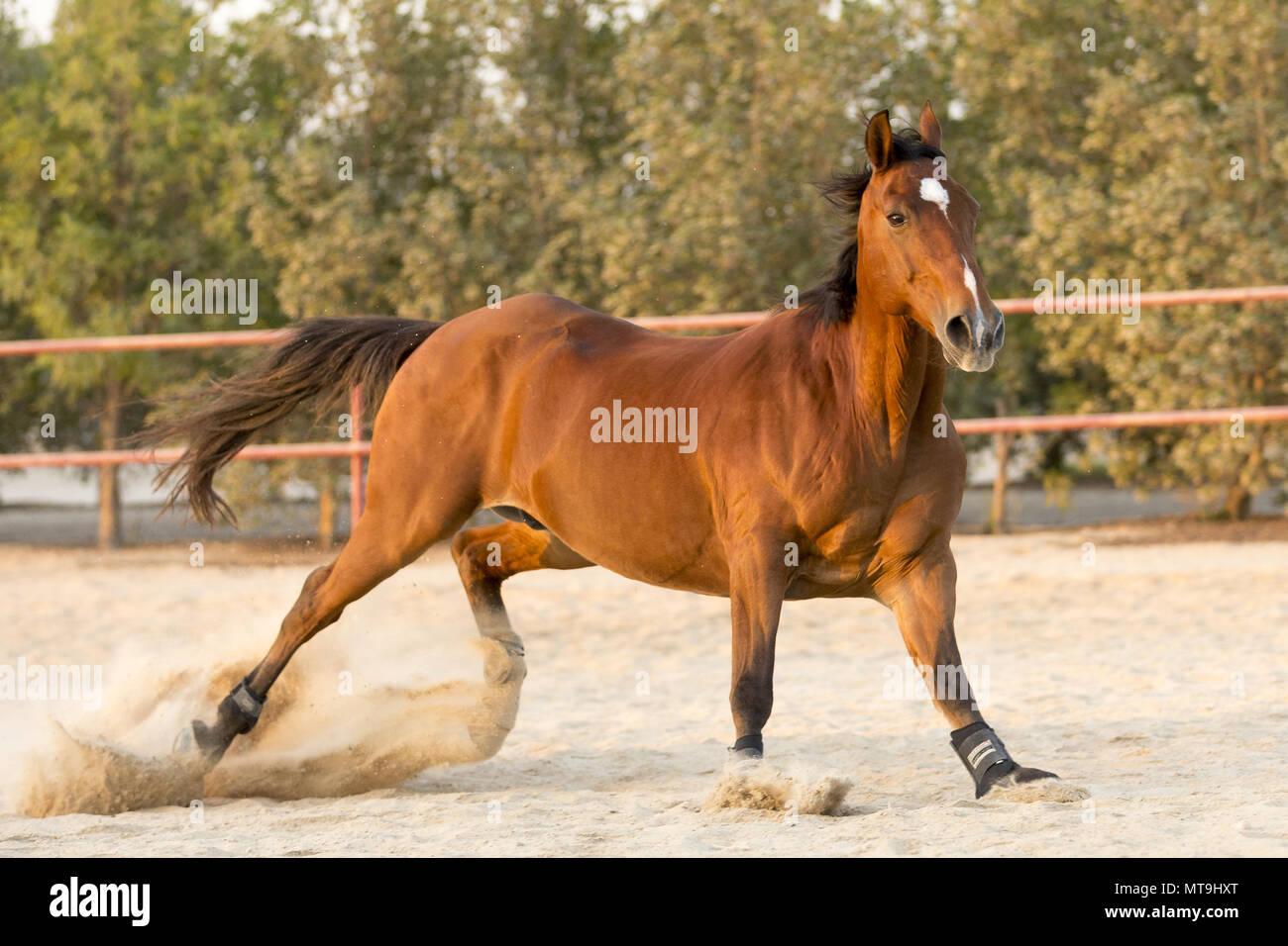 Australian Stockhorse. Bay gelding stopping in a paddock. Abu Dhabi - Stock Image