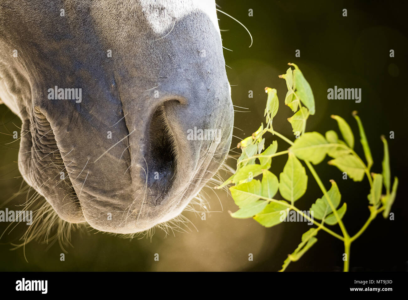 Arabian Horse. Close-up of nostrils and mouth af a gray horse. Abu Dhabi Stock Photo