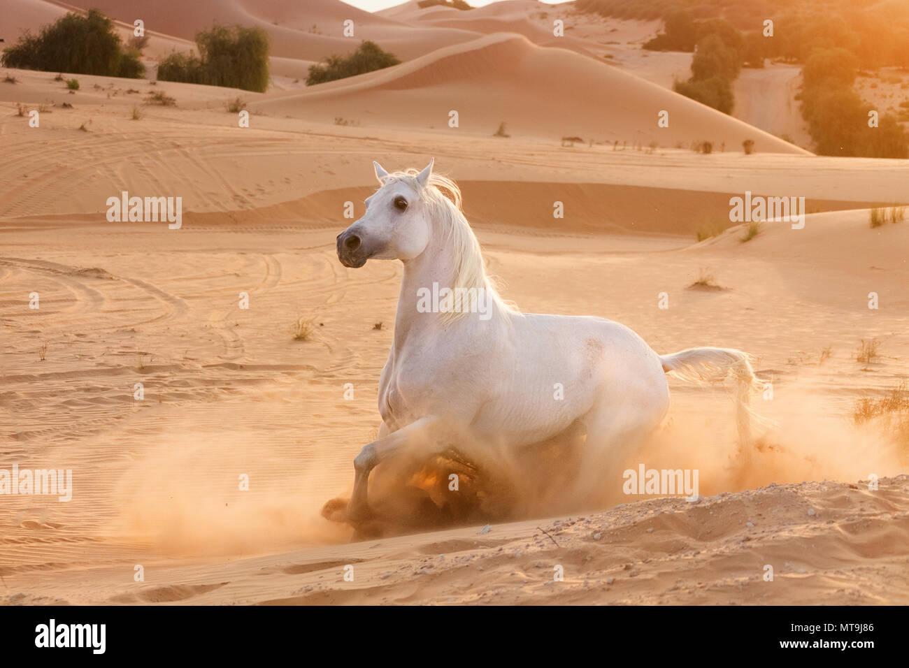 Arabian Horse. Gray adult stopping in the desert. Abu Dhabi - Stock Image