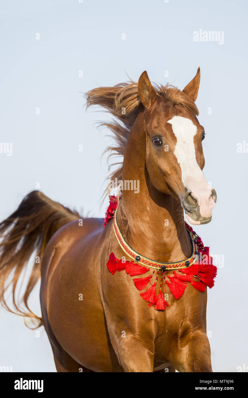 Arabian Horse. Chestnut stallion in a gallop, portrait. Abu Dhabi - Stock Image