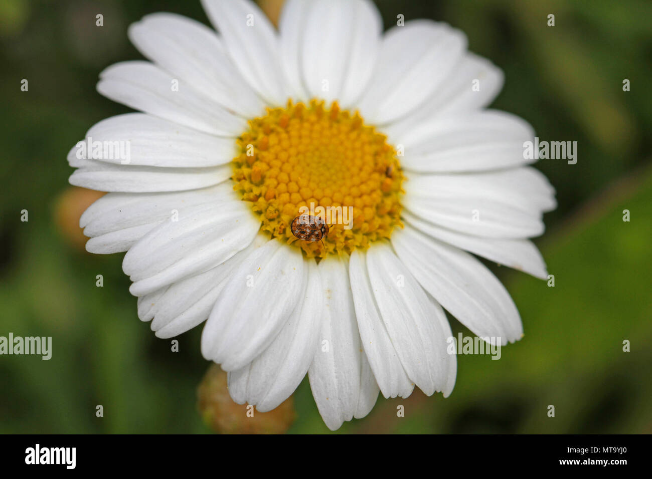 Tiny varied carpet beetle Latin anthrenus verbasci collecting pollen on a marguerite flower or swan river daisy very close to in Italy in springtime - Stock Image