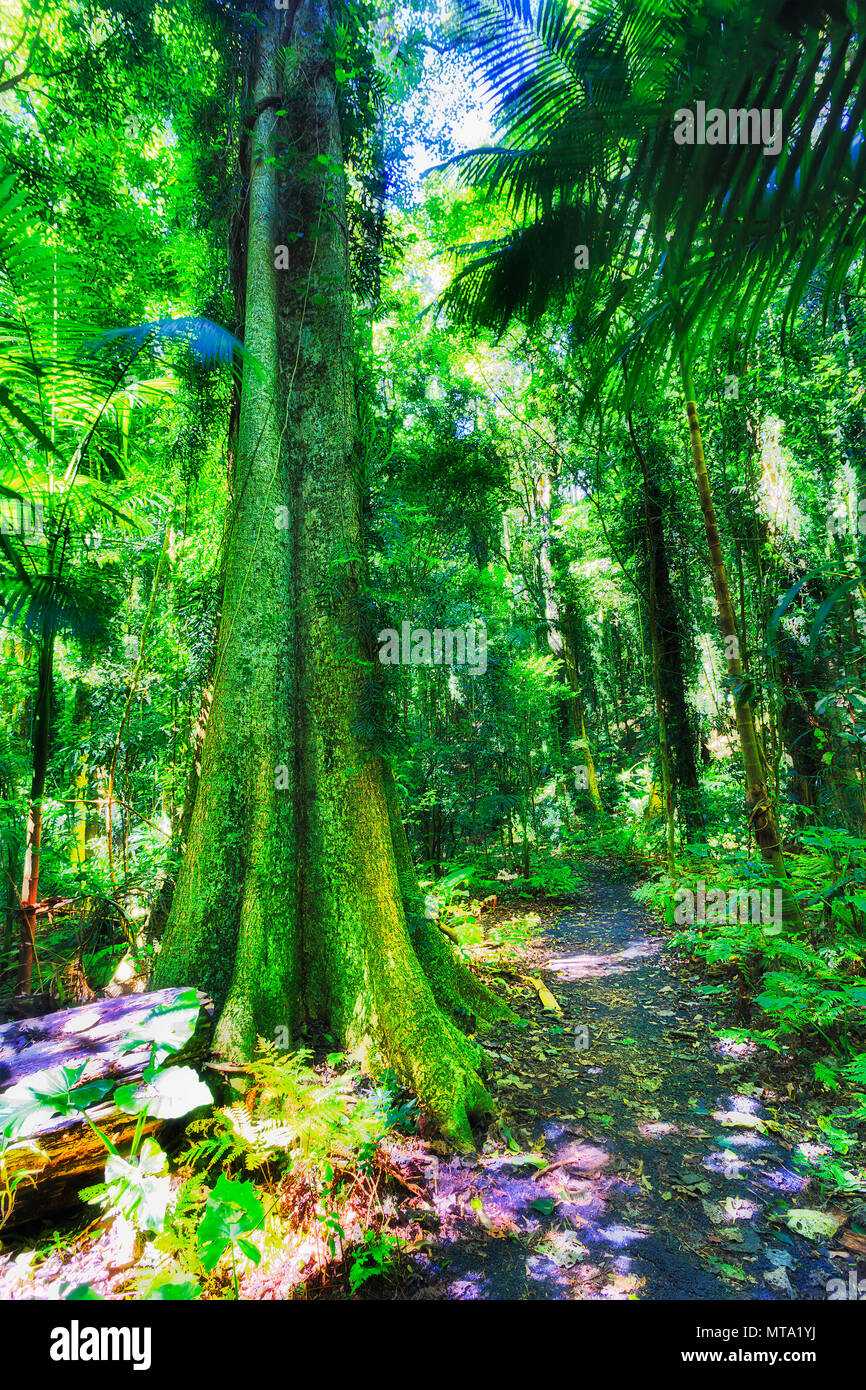 Lush evergreen canopy of thick rainforest woods in Dorrigo national park around walking track for tourists on a sunny bright day. - Stock Image