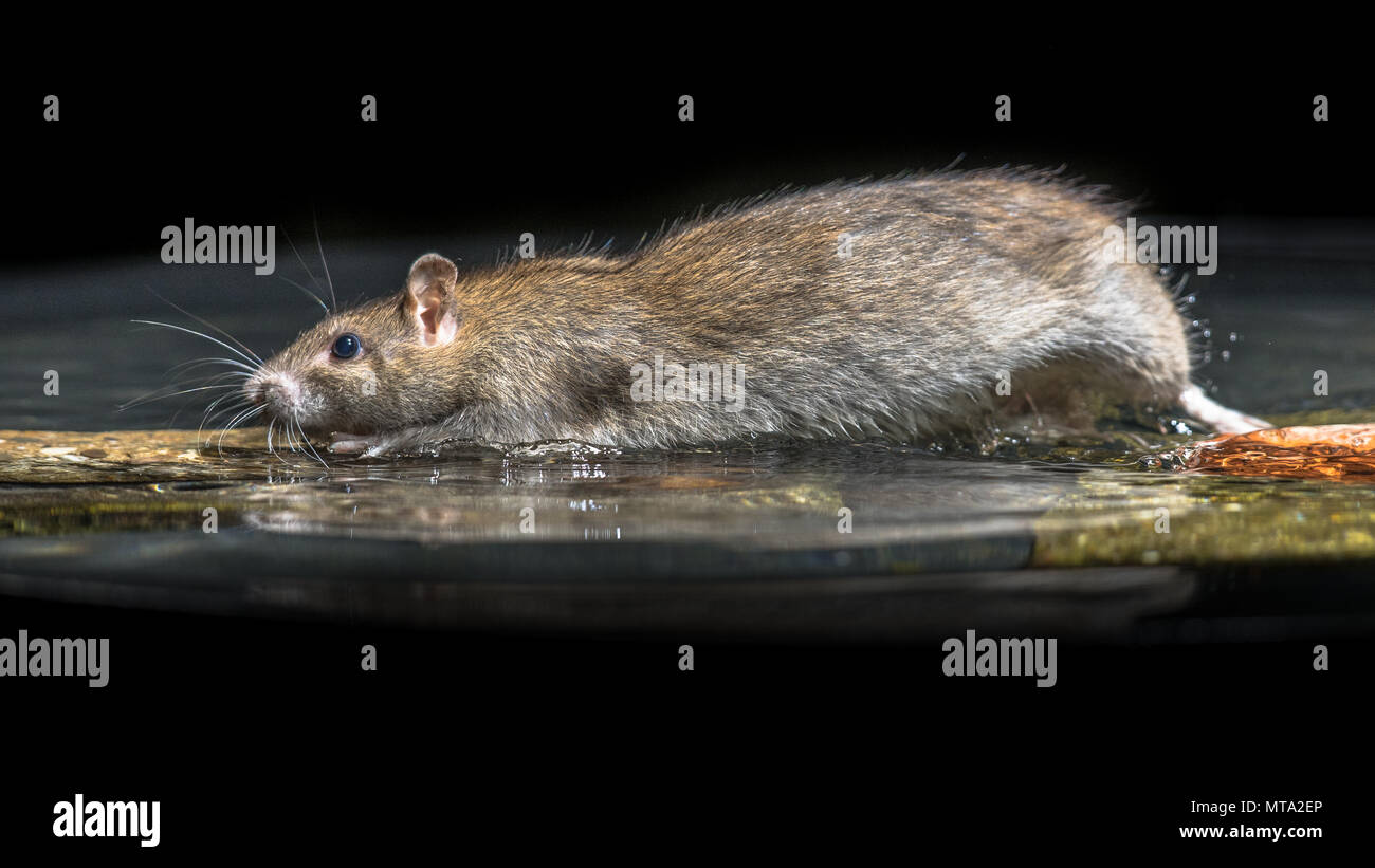 Wild Brown Rat (Rattus norvegicus) moving in water of river - Stock Image