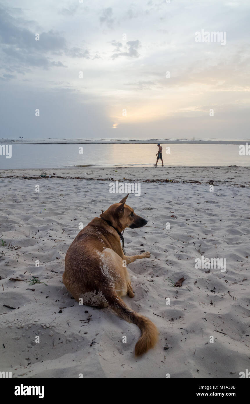 Portrait of beautiful German shepherd dog with collar and person in background at African beach during afternoon - Stock Image