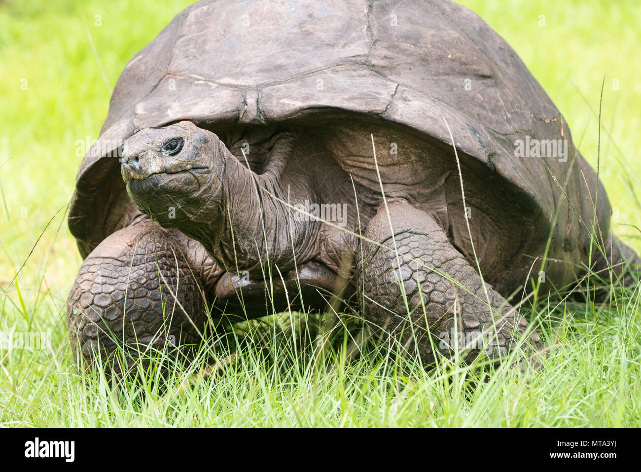Jonathan the Tortoise, St Helena's oldest resident and said to be the world's oldest reptile. Jonathan lives in the grounds of Plantation House Stock Photo