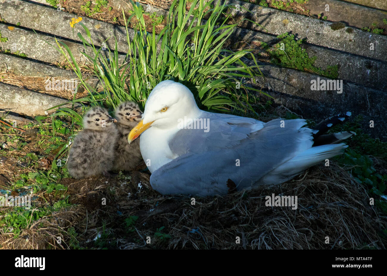 Seagull and Chicks in Nest, Newlyn, Cornwall UK Stock Photo