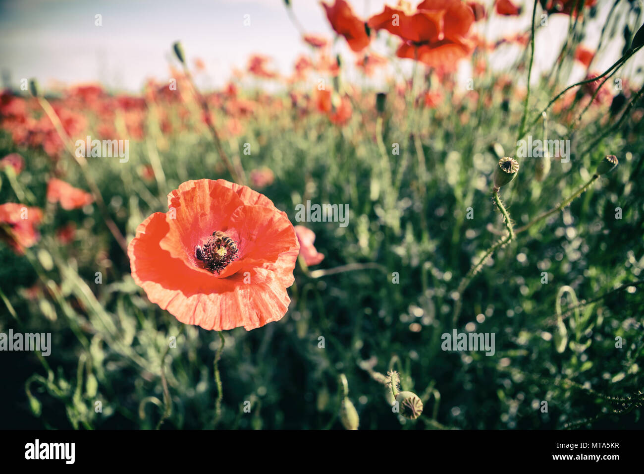 Poppy Flowers Retro Vintage Summer Background Shallow Depth Of