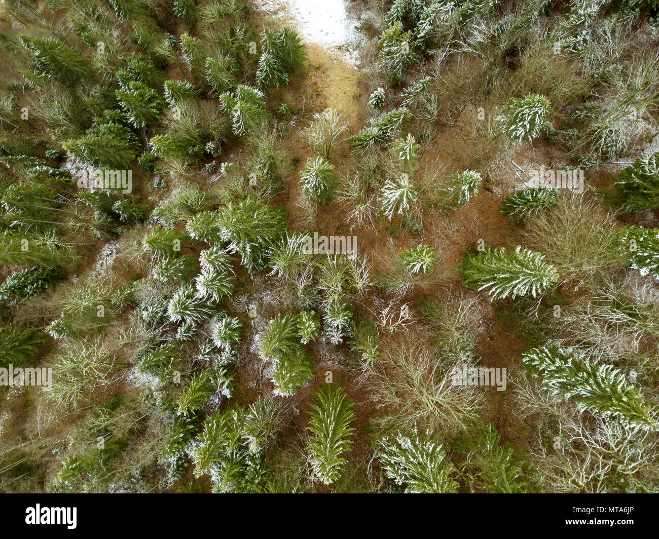 Young spruces on the sand at the beginning of winter. First snow. Top view vertically down - Stock Image