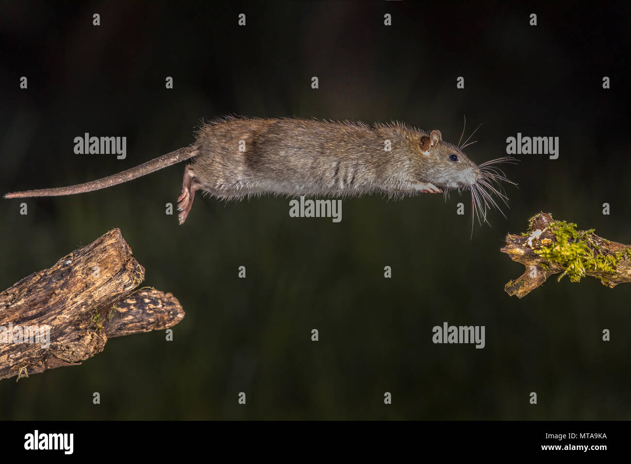 Wild Brown rat (Rattus norvegicus) jumping from log at night. High speed photography image - Stock Image