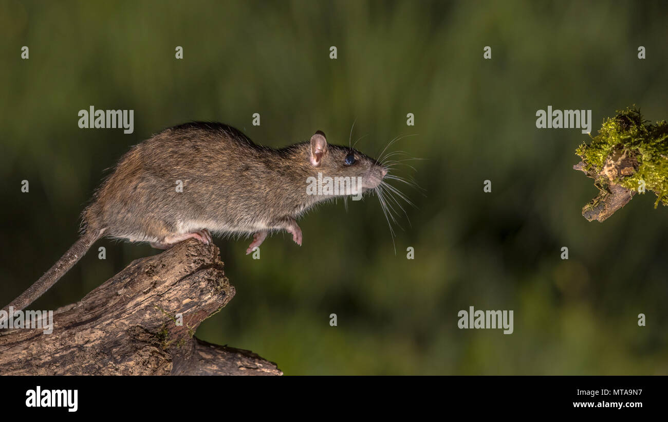 Wild Brown rat (Rattus norvegicus) about to leap from log at night. High speed photography image - Stock Image