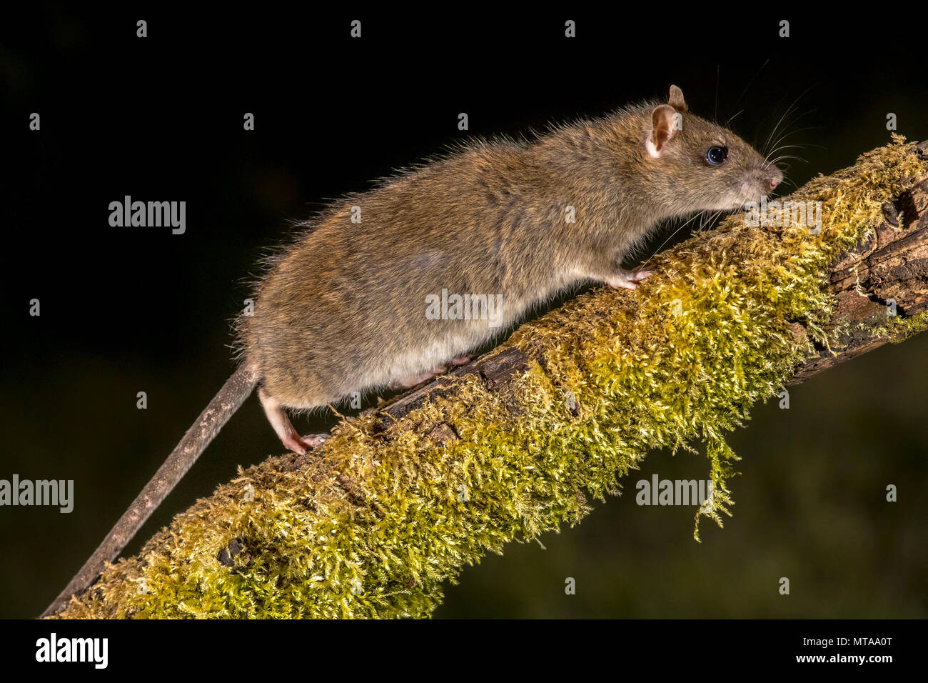 Wild Brown rat (Rattus norvegicus) turning on mossy branch at night. High speed photography image - Stock Image