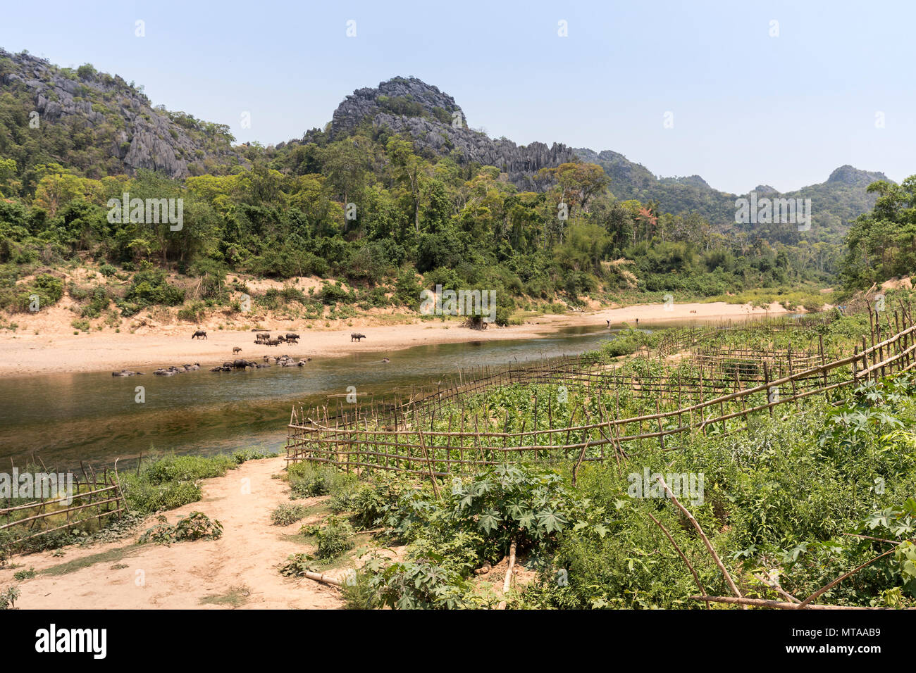 Fenced growing area alongside river with water buffalo, Nong Ping, Laos - Stock Image