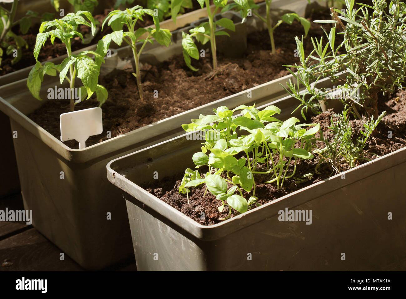 Container vegetables gardening. Vegetable garden on a terrace. Herbs ...