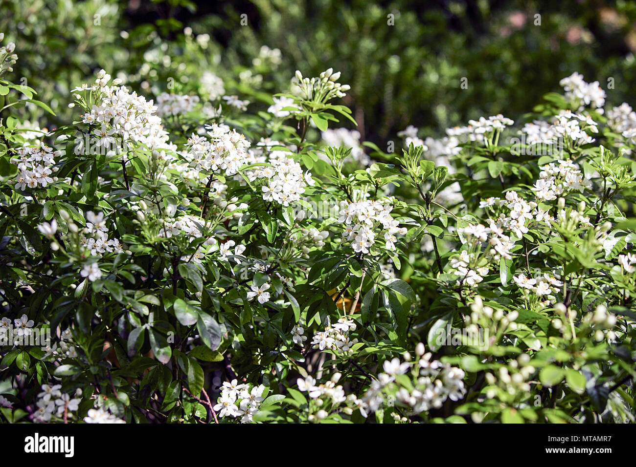Evergreen Shrub With Spring White Flowers Adorning It Viewed Within