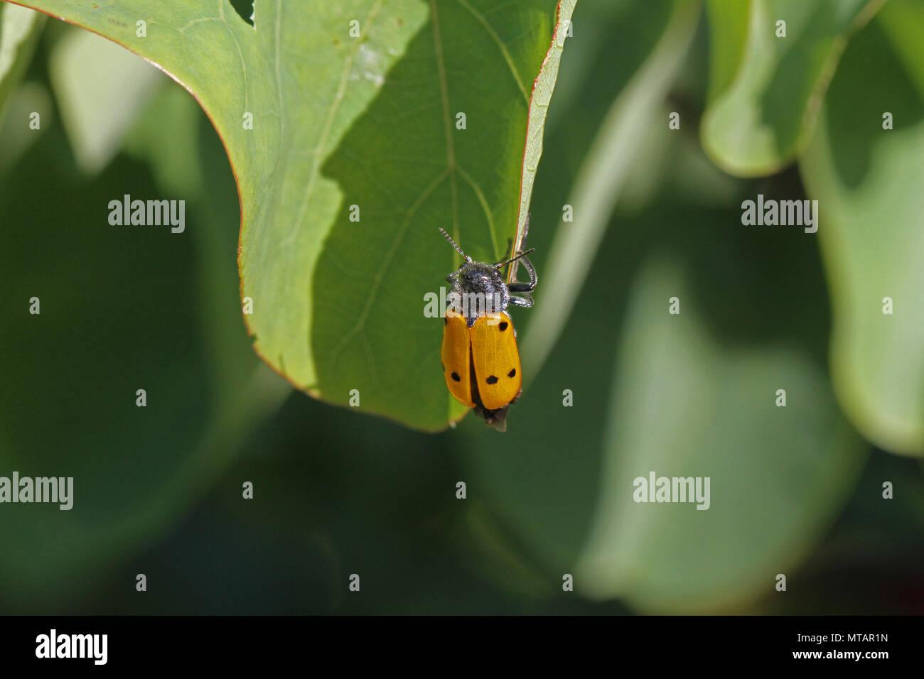 four spotted leaf beetle or poplar variant with six spots Latin clytra quadripunctata or chrysomela populi feeding on a judas tree leaf in Italy - Stock Image