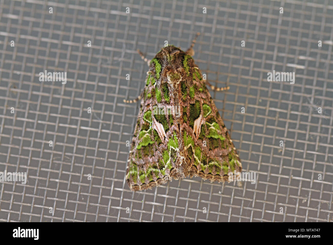 orache moth Latin trachea atriplicis a type of noctuid moth at rest on a screen door in Italy a continental moth rarely seen in mainland Britain - Stock Image