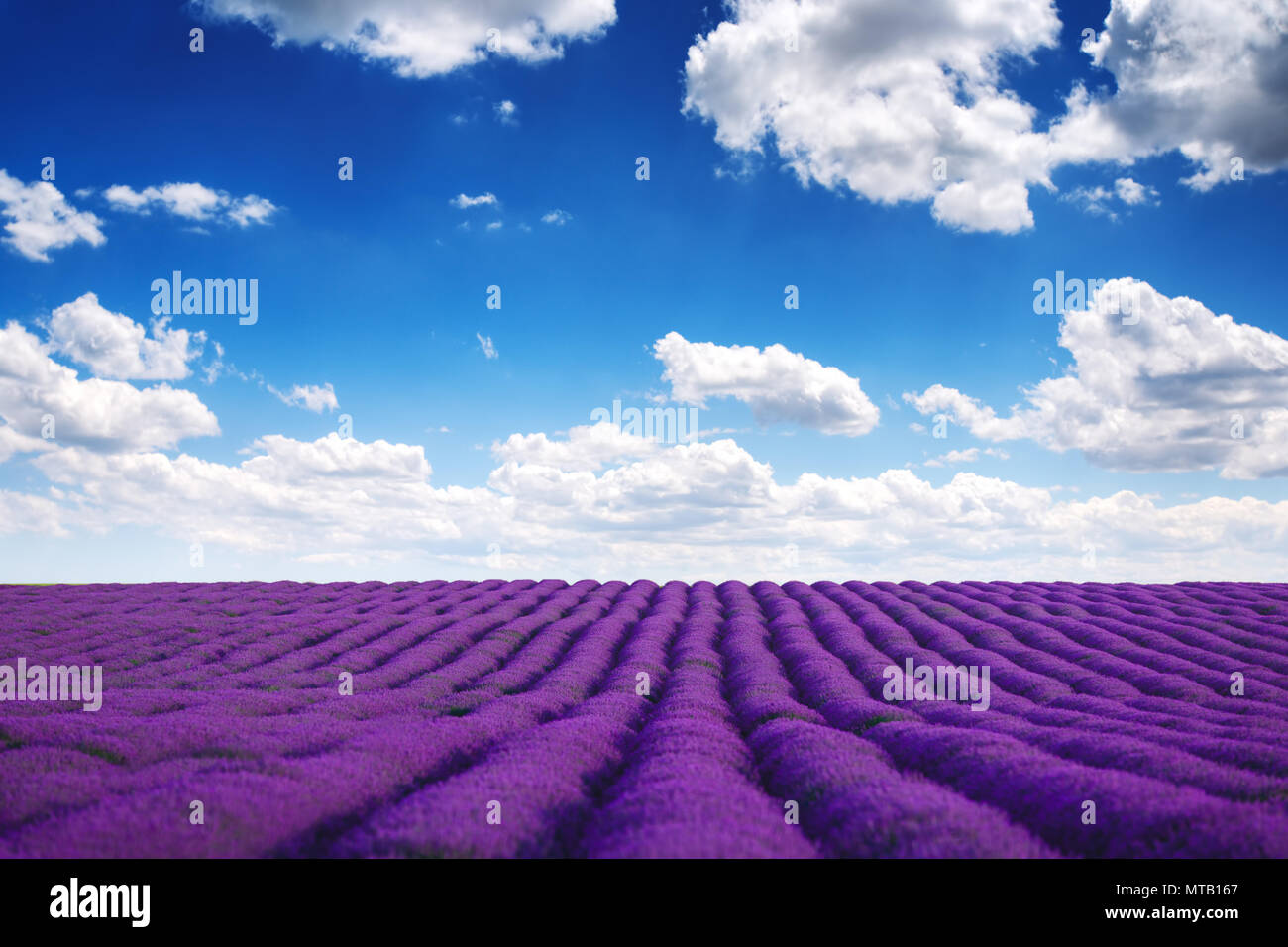 Lavender flower blooming scented fields in endless rows. - Stock Image