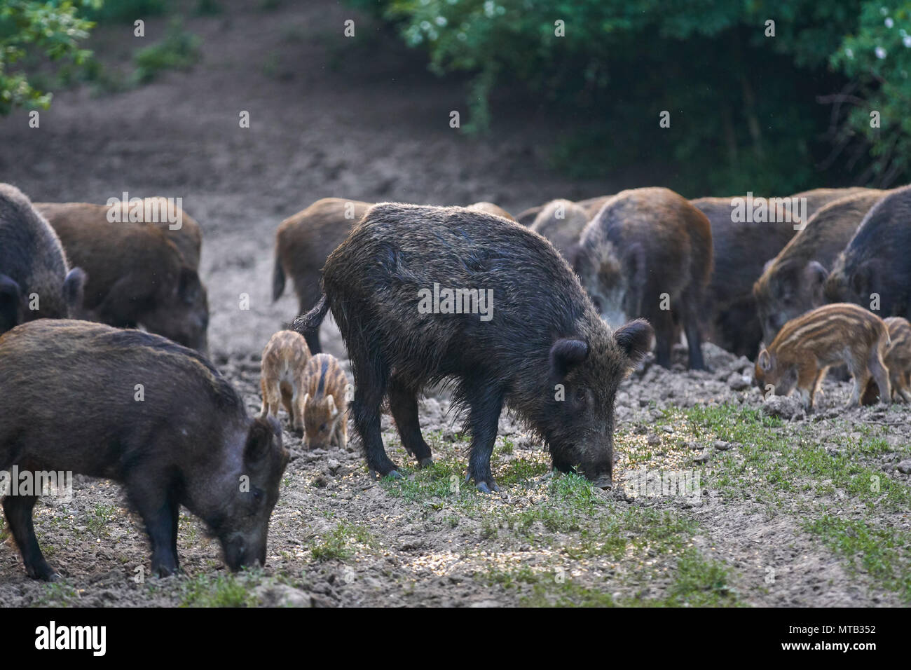 Herd of wild hogs rooting in the forest for food - Stock Image