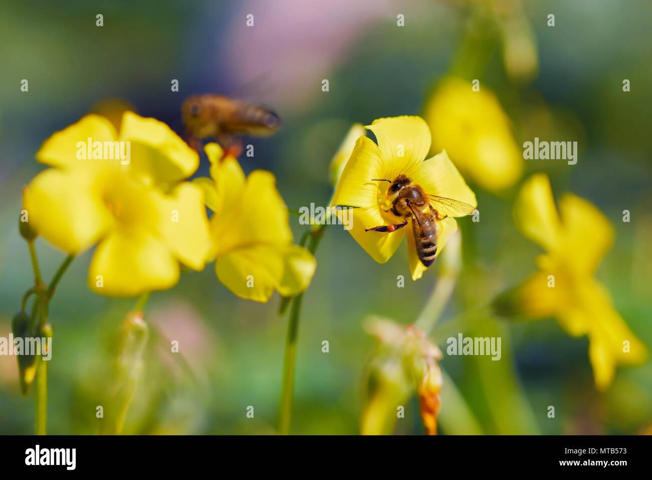 Honey bee collecting pollen from yellow jasmine flower - Stock Image