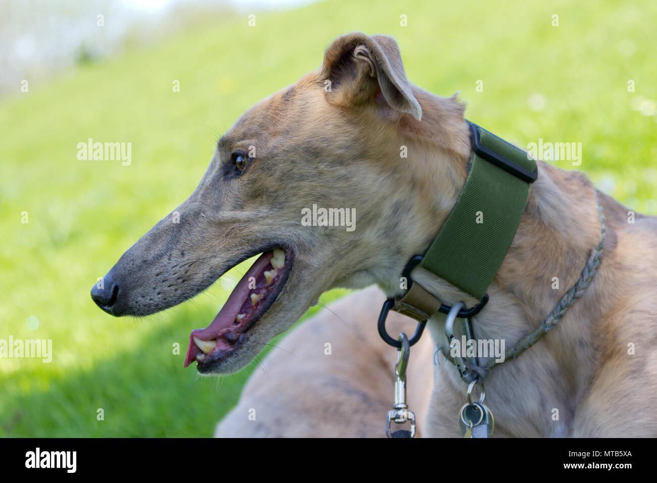 Greyhound Dog - Stock Image