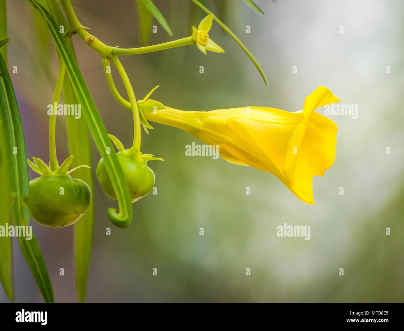 Yellow Oleander Stock Photos Yellow Oleander Stock Images Alamy
