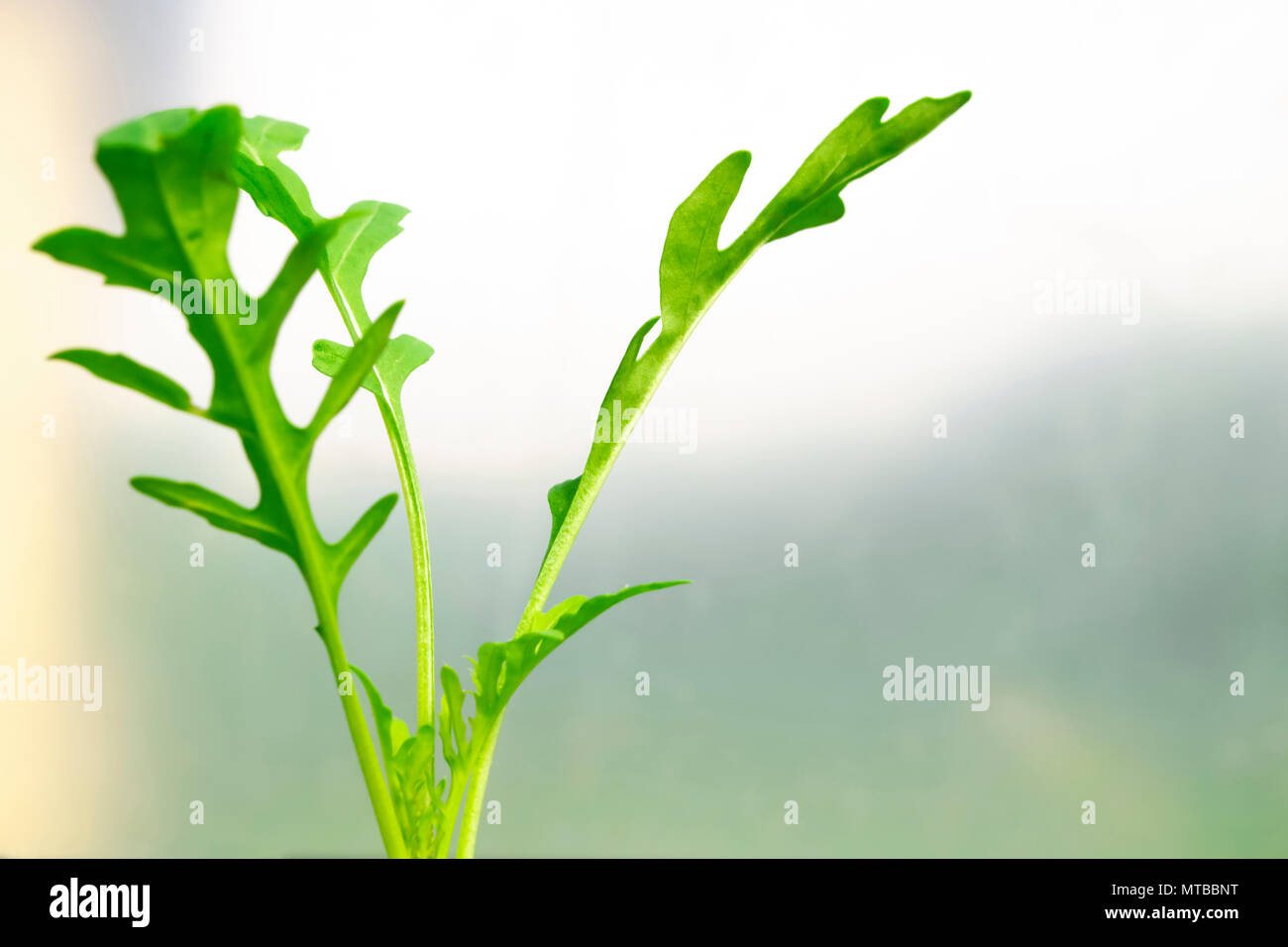 Rucola leaves macro shot on soft blurry background - Stock Image