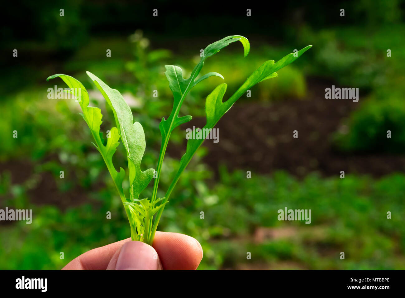 Rucola leaves macro shot in man hand on blurred background - Stock Image