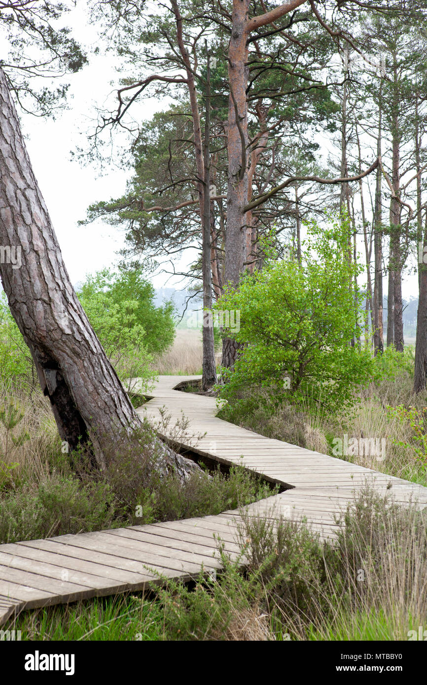 Wooden board walk, Thursley common nature reserve Surrey board walk in may with trees - Stock Image