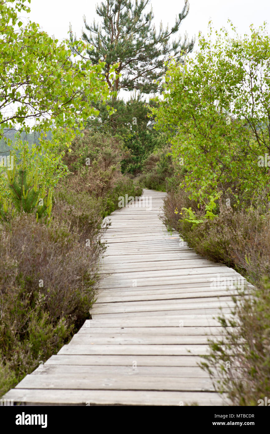 Thursley common nature reserve Surrey board walk in may with trees - Stock Image