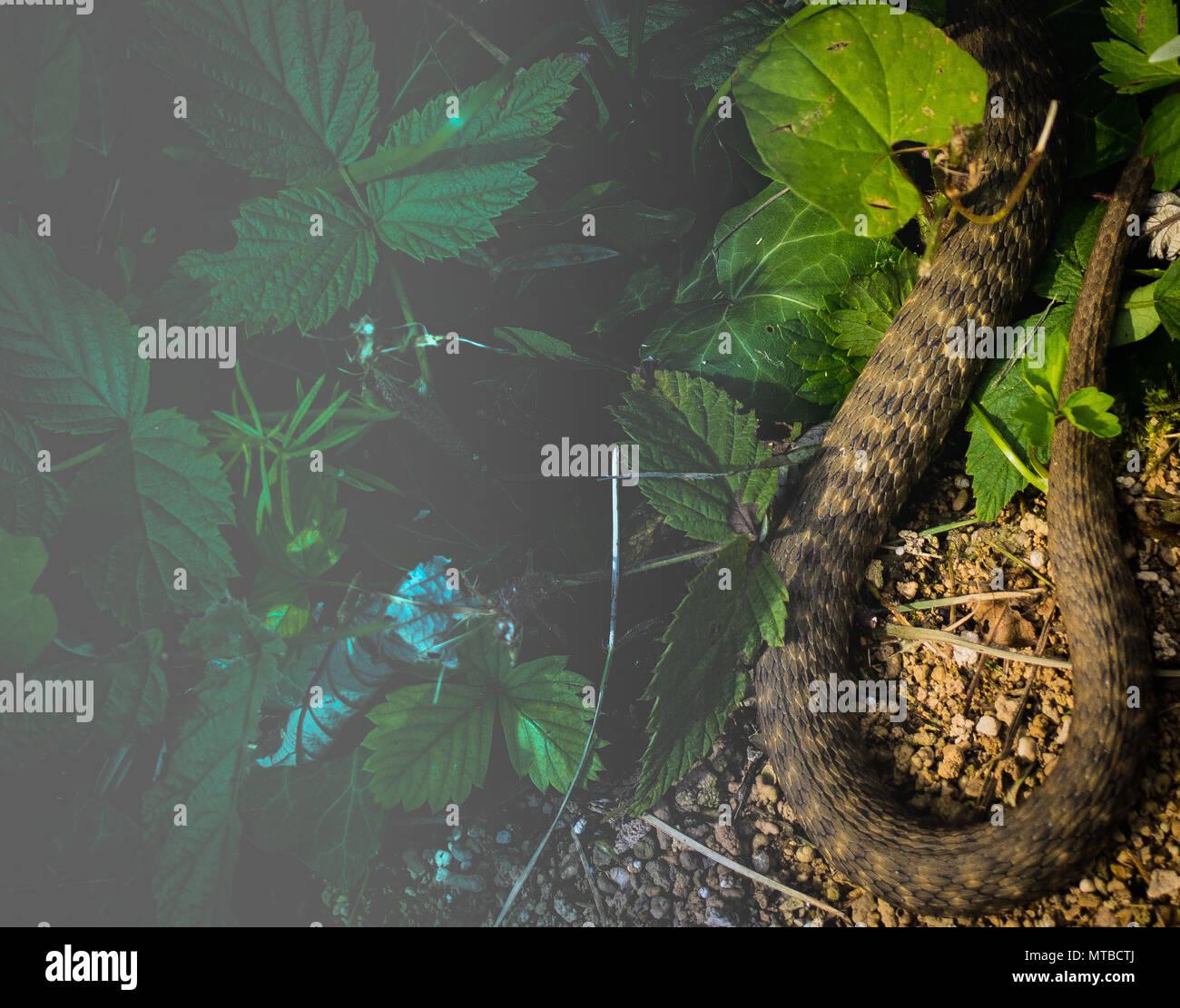 dice snake /Natrix tessellata - Stock Image