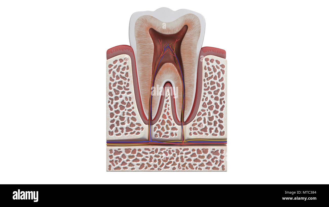 3D illustration of a tooth anatomy Stock Photo: 187121428 - Alamy