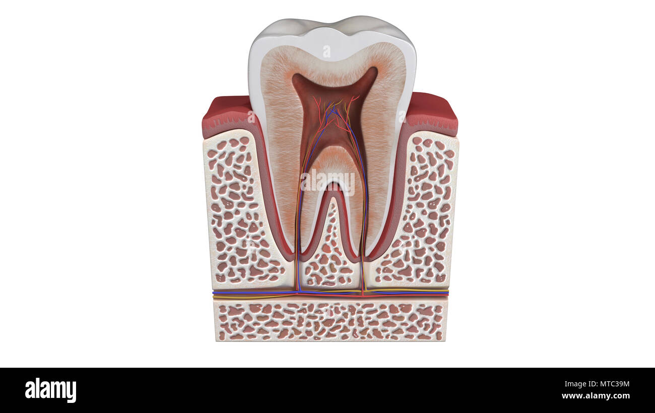 3D illustration of a tooth anatomy Stock Photo: 187121472 - Alamy