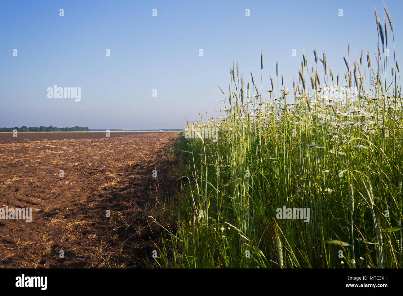 Organic pest control: field of flowers, sown to attract beneficial insects, next to an agricultural field - Stock Image