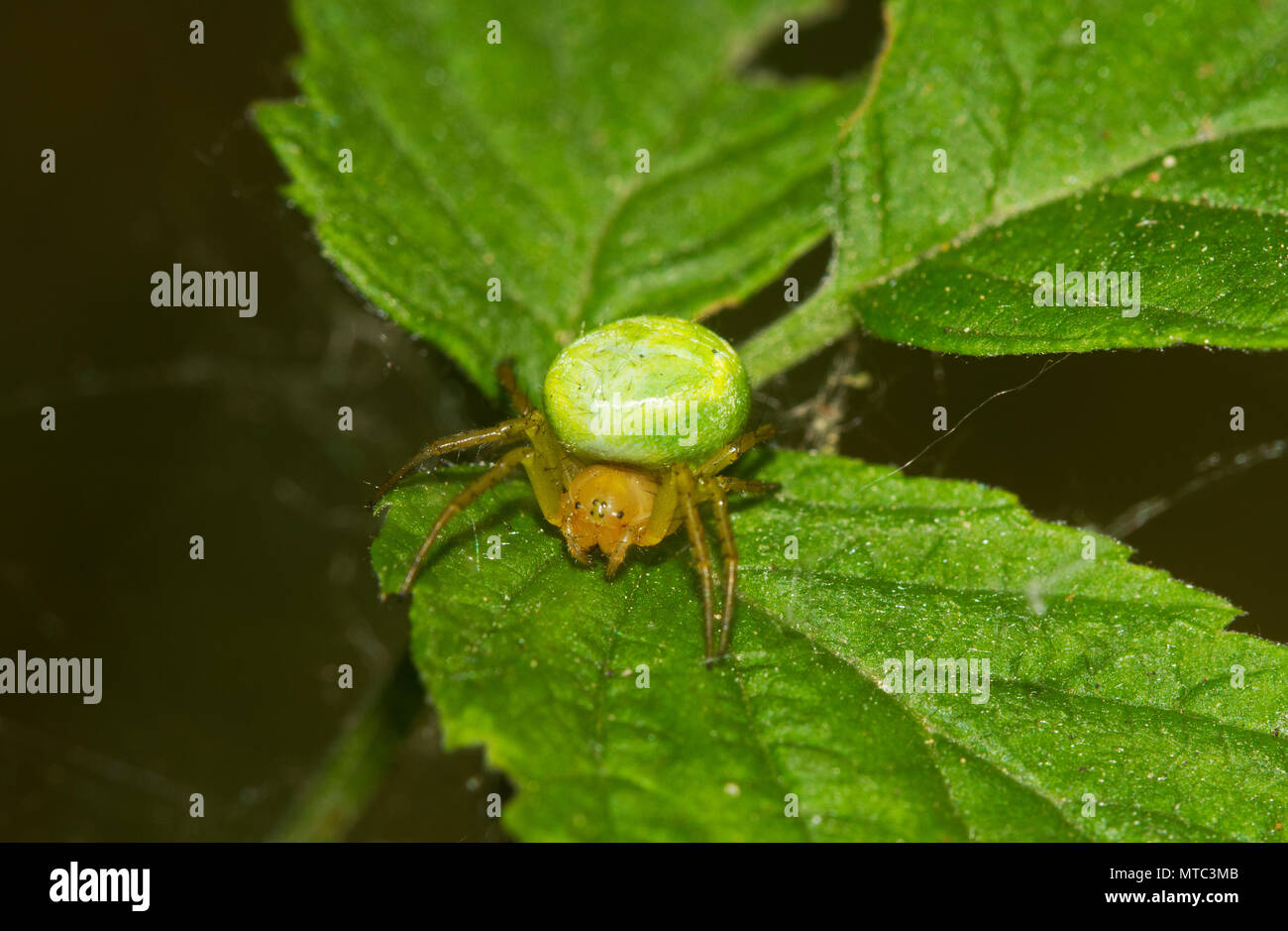 Cucumber green spider, on the leaf of a Raspberry - Stock Image