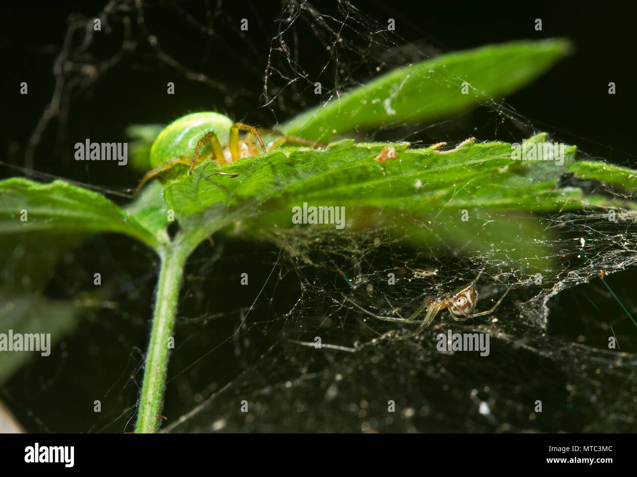 Two spiders on the leaf of Raspberry, a Cucumber green spider on the upper side and a Sheet weaver on the under side - Stock Image