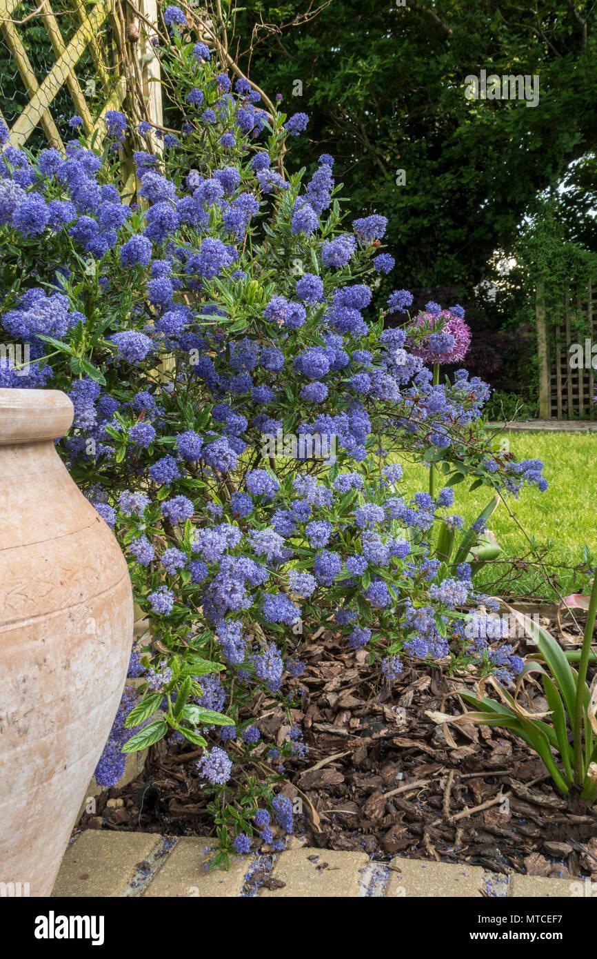 Ceanothus concha in flower growing beside some trellis in a Devon garden, with allium globemaster behind. - Stock Image