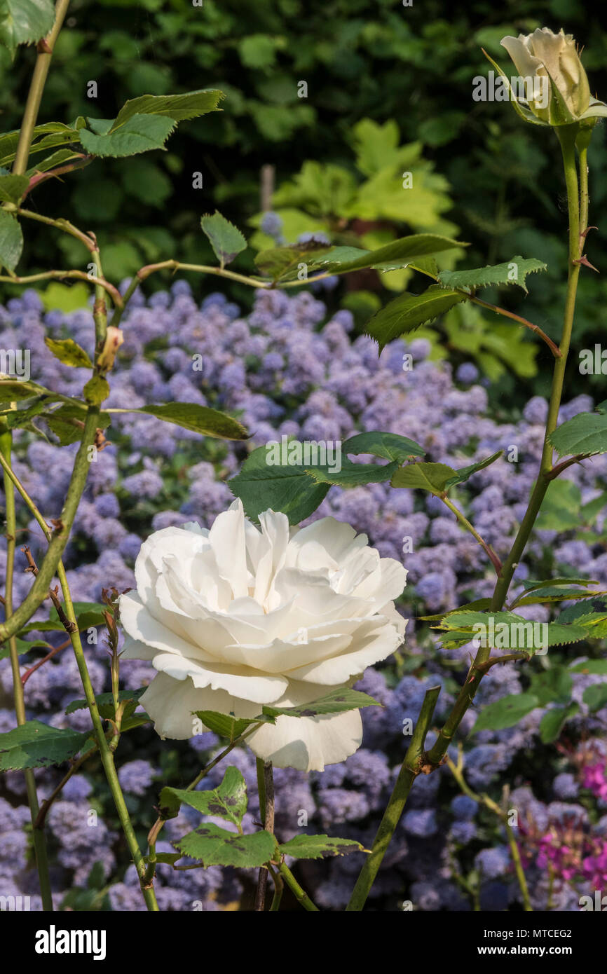 Margaret Merril rose, old variety of rose, highly scenrted, but prone to black spot and other diseases. - Stock Image