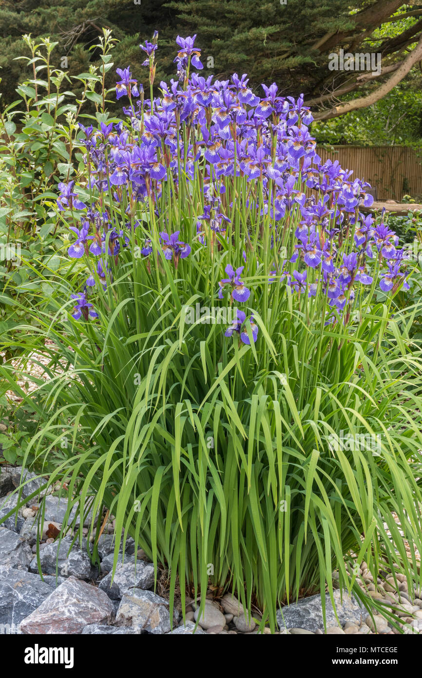 A large clump of iris sibirica, siberian iris, surrounded by pale grey stone and rocks. - Stock Image