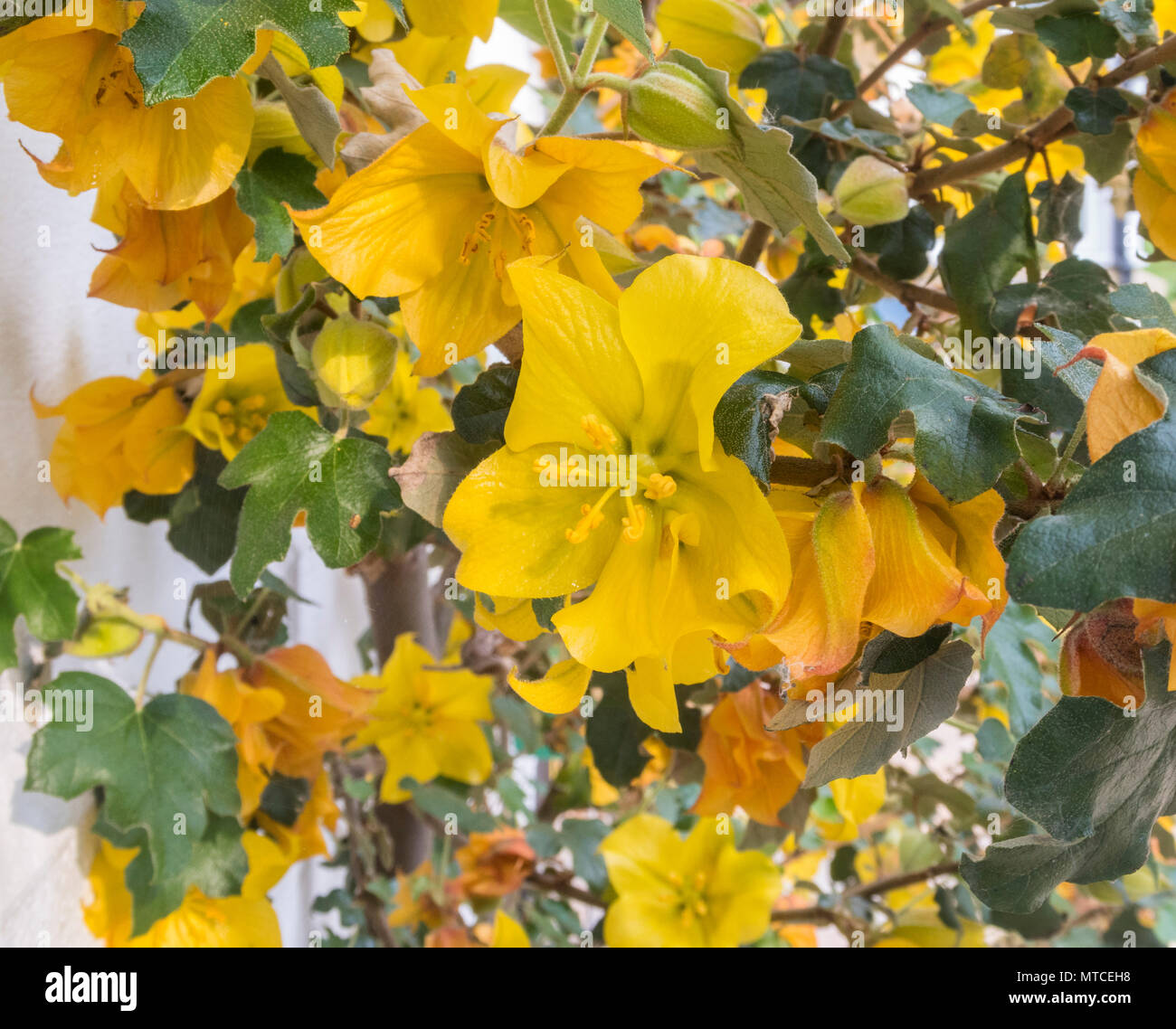 Fremontodendron California Glory growing up the white wall of a house - Stock Image