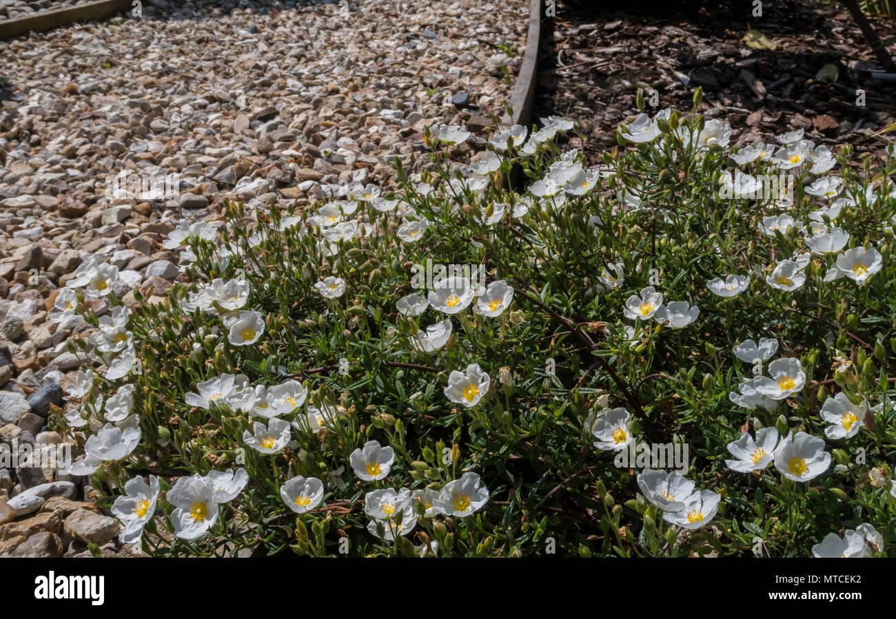 Sahuc Rock Rose, halimiocistus sahucii, softening the edges of a gravel path. - Stock Image