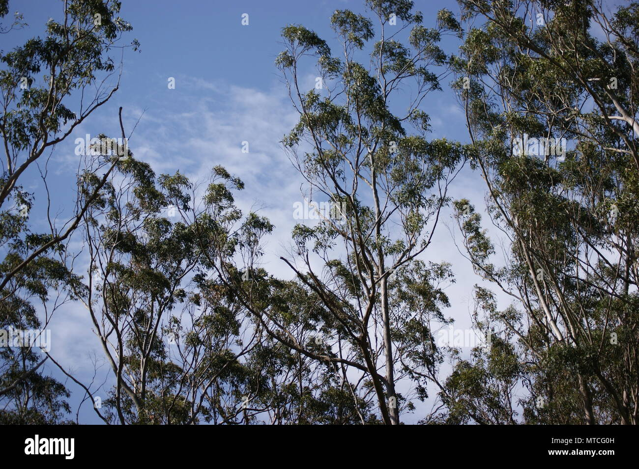 Australian trees set against partly cloudy sky - Stock Image