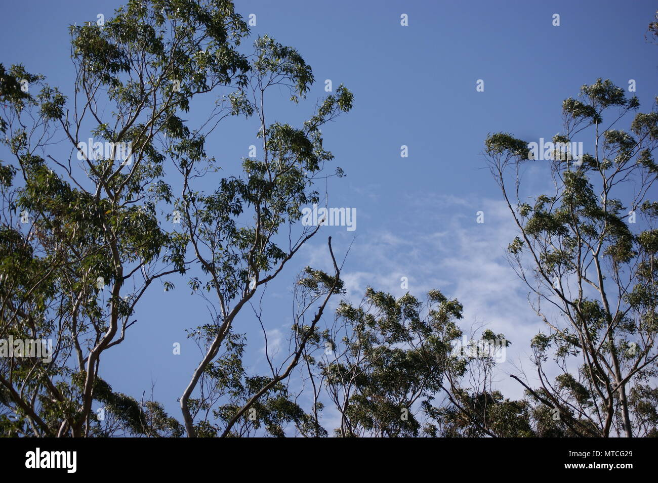 Australian trees set against mostly blue sky with some cloud - Stock Image