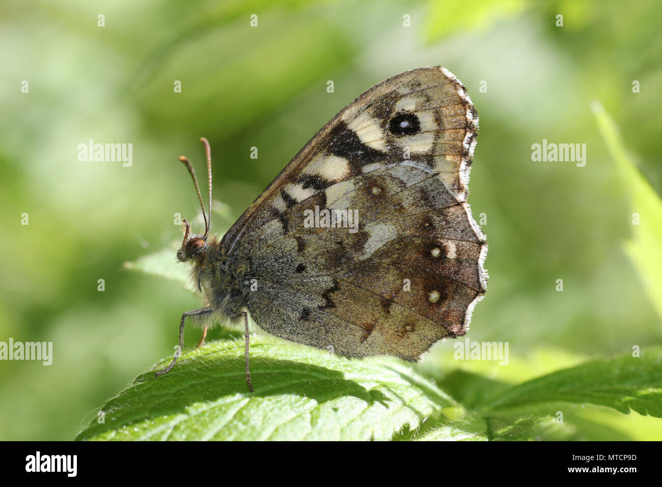 Speckled Wood Pararge aegeria - Stock Image