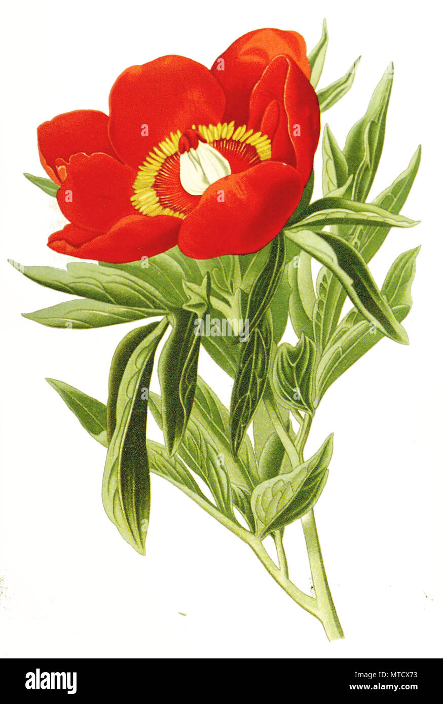 Paeonia officinalis, Common Peony, garden peony. Gemeine Pfingstrose, auch Echte Pfingstrose, Bauern-Pfingstrose, Garten-Pfingstrose, digital improved reproduction from a print of the 19th century Stock Photo
