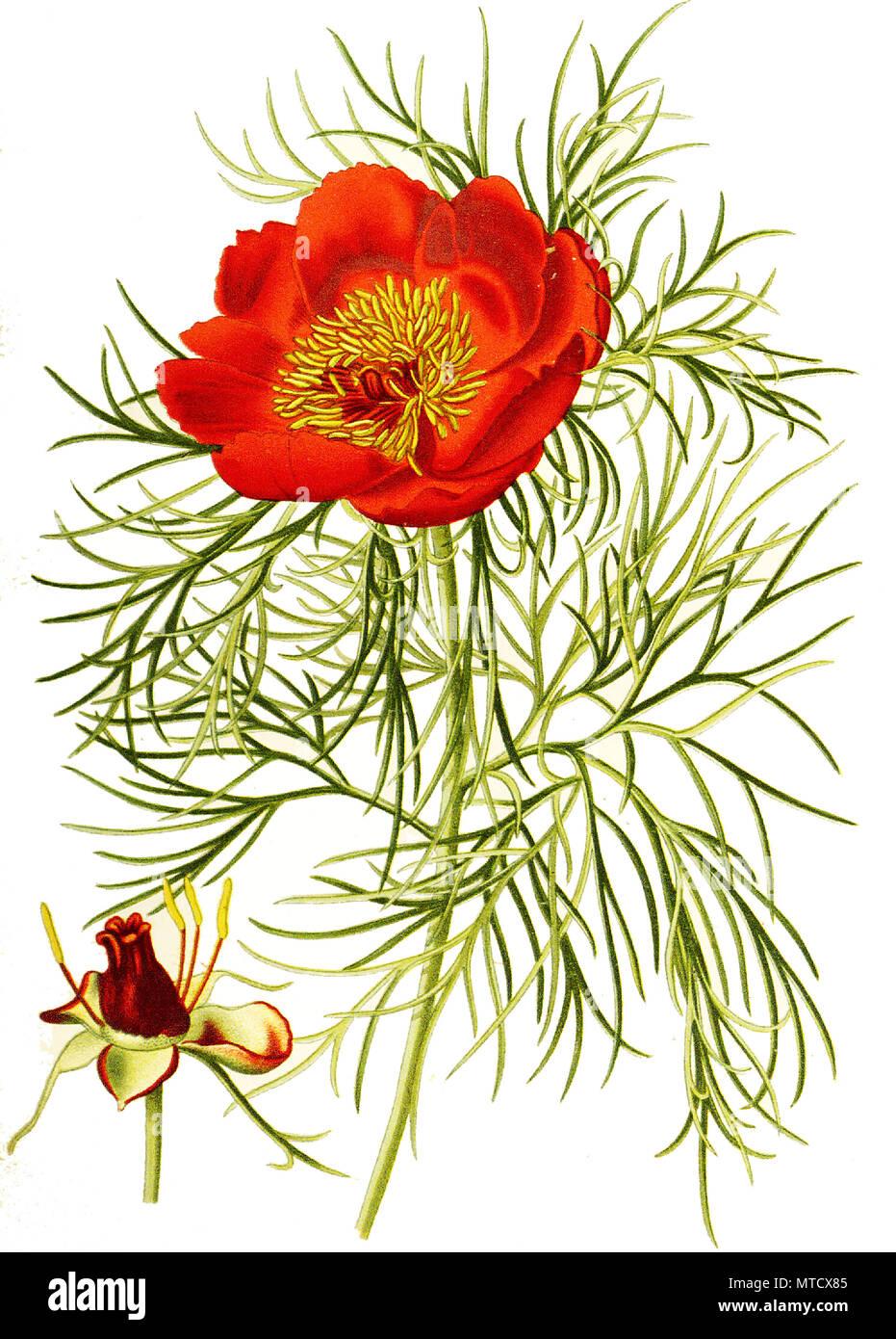 Paeonia tenuifolia, Narrow-Leaved Peony. Gemeine Pfingstrose, auch Echte Pfingstrose, Bauern-Pfingstrose, Garten-Pfingstrose, digital improved reproduction from a print of the 19th century Stock Photo