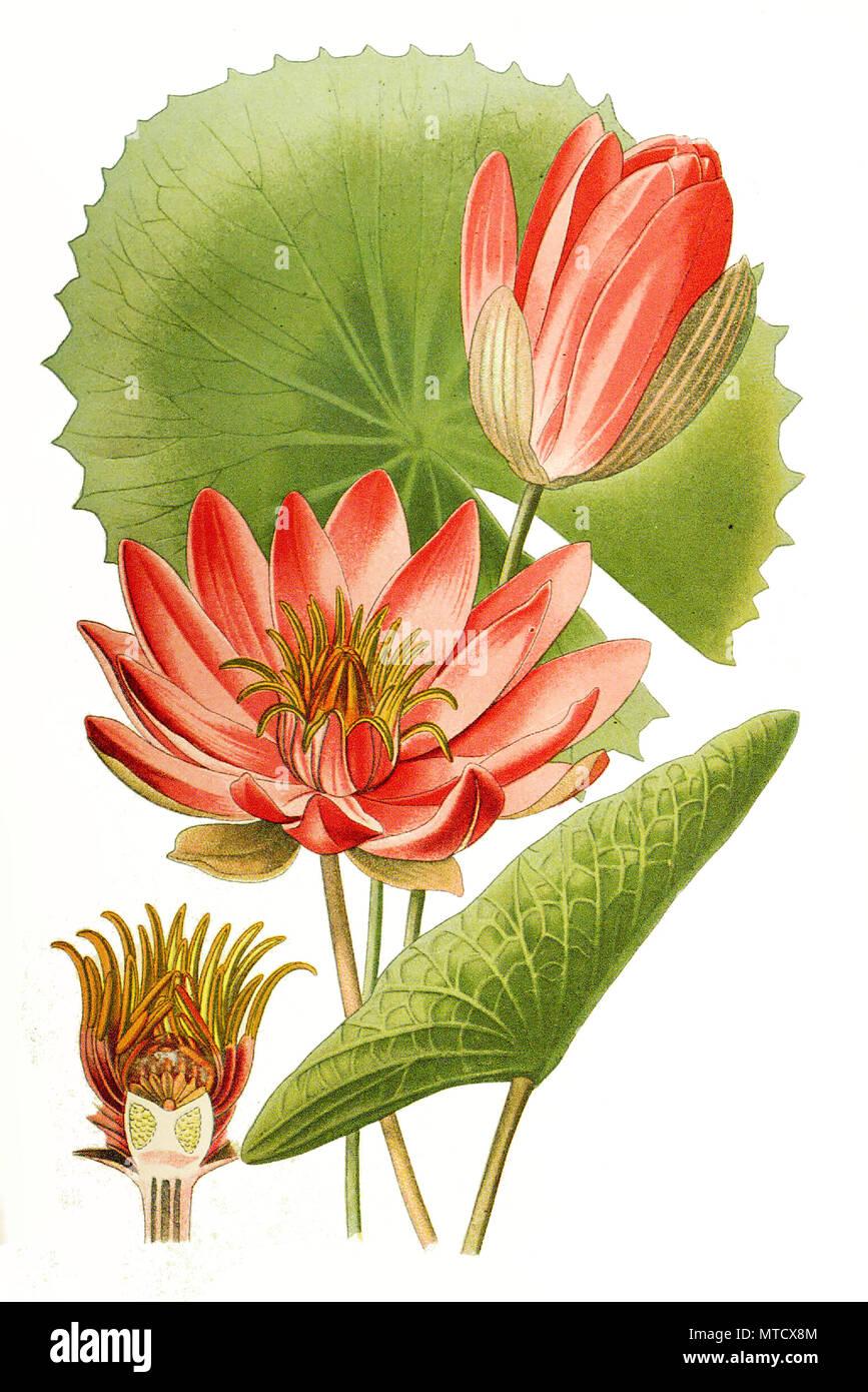 Nymphaea Lotus Var Rubra Egyptian Water Lily Egyptian Lotus Tiger