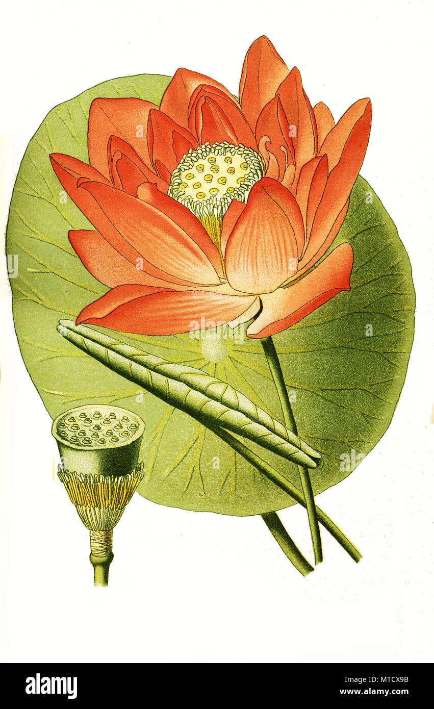 Nelumbium Speciosum Sacred Bean Indian Lotus Sacred Lotus Bean